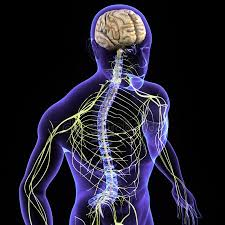 STRENGTHEN YOUR NERVOUS SYSTEM 10 BEST FOOD FOR NERVOUS SYSTEM